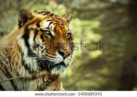 Tiger. Tiger head Tiger look. Big cat. Wild animal. Africa. Safari. Wild nature. Lying tiger. #1400689241
