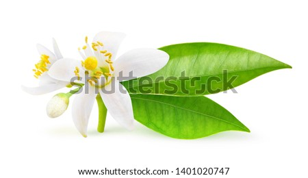 Isolated orange flowers. Blossoming branch of orange tree isolated on white background with clipping path #1401020747