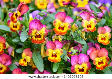Beautiful colorful pansies in the garden. Vivid pansy flowers at the spring flowerbeds with selective focus. Flower summer background. Multicolored romantic pansies blooming. Spring time