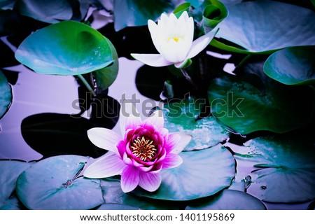 Lotus flowers blooming in the city of Qingdao #1401195869