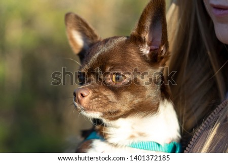 portrait of happy chihuahua sitting on girls's hands #1401372185