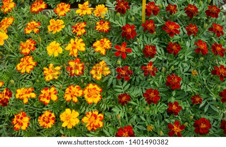 Flower seedlings in pots at the farmers market.orange and maroon marigolds. #1401490382