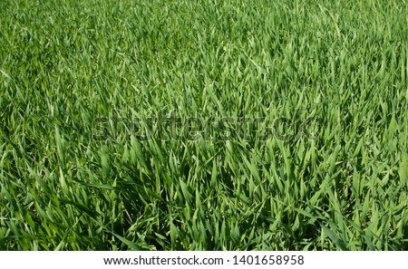 Summer green grass closeup. Large leaves. Agricultural field with plants in the sun. Background for graphic design of agro booklet. #1401658958