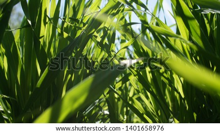 Summer green grass closeup. Large leaves. Agricultural field with plants in the sun. Background for graphic design of agro booklet. #1401658976