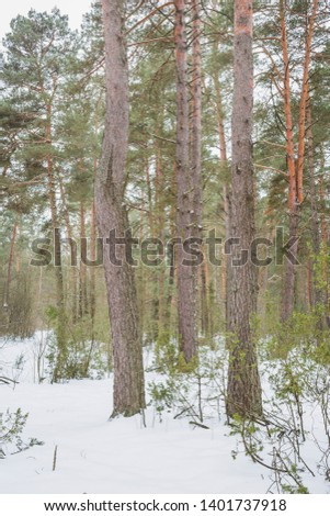 The end of winter. February month. Pine forest.Nature in the vicinity of Pruzhany, Brest region, Belarus.  #1401737918