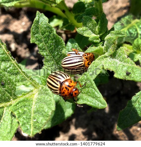 Macro Photo Nature: The Colorado Beetle. Texture Colorado striped beetles are sitting on the leaves of potatoes.
