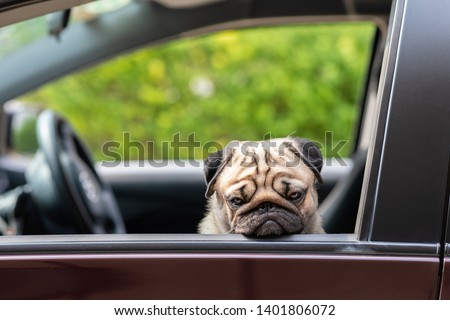 Dog Pug on car making serious face and boring feeling so sad