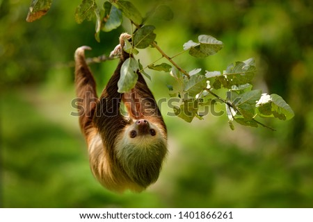 Sloth in nature habitat. Beautiful Hoffman's Two-toed Sloth, Choloepus hoffmanni, climbing on the tree in dark green forest vegetation. Cute animal in the habitat, Costa Rica. Wildlife in jungle. #1401866261