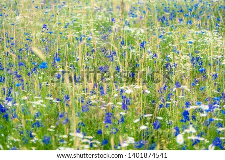 Russian field, summer landscape, cornflowers and chamomiles, ears of wheat. Summer flowers on the meadow. Wildflower meadow, flower meadow, wildflowers #1401874541