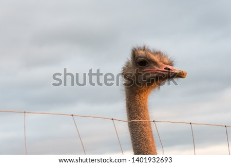 An african ostrich looks over the fence #1401932693