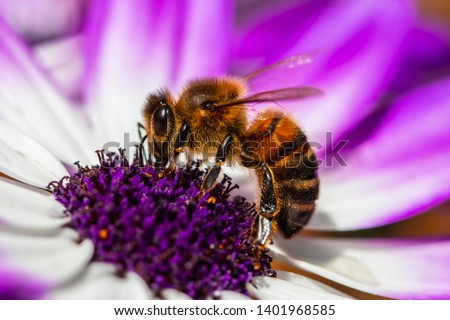 Bee takes nectar from the beautiful white and purple flower.  Save the bees day.Macro picture of bee and  the flower.