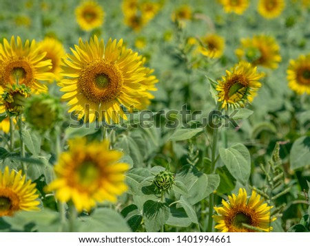 I took a picture of my neighborhood sunflower field #1401994661