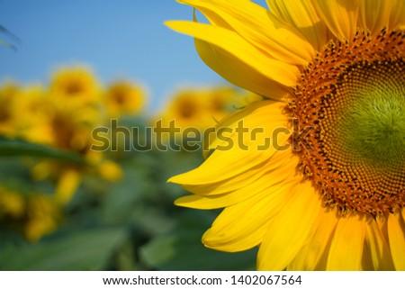 Umbala, Haryana / India - May 18 2019: Sun Flower #1402067564