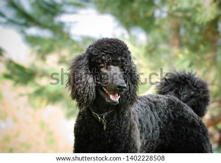 Black Standard Poodle dog outdoor portrait #1402228508