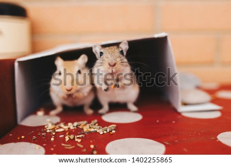 two gerbils on free exit eat seeds