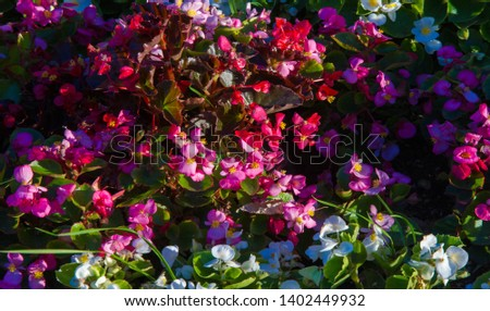 Begonia is a genus of perennial flowering plants of the Begonian family. Begonias are native to a humid subtropical and tropical climate. Some species are usually grown indoors as indoor plants. #1402449932