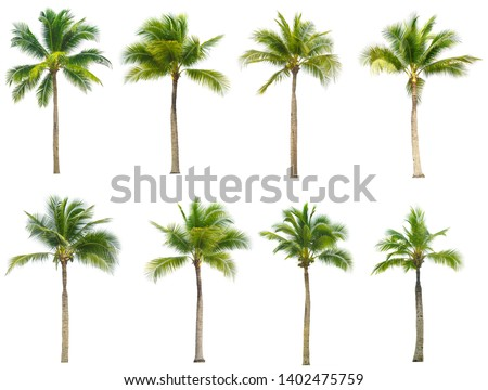 Coconut palm tree isolated on white background. #1402475759