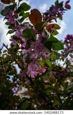 Branch of flowering tree with gently pink flowers and green leaves against blue sky with clouds #1402488173