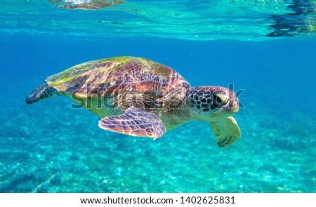 Cute sea turtle in blue water of tropical sea. Green turtle underwater photo. Wild marine animal in natural environment. Endangered species of coral reef. Tropical seashore wildlife. Snorkeling hobby #1402625831