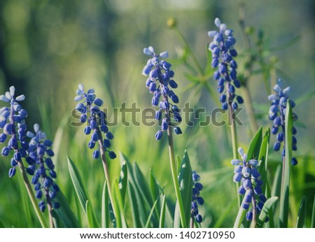 Late spring Muscari with green grass background #1402710950