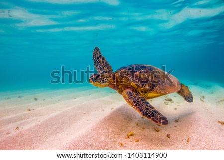 Hawaiian Green Sea Turtles cruising in the Hawaiian waters #1403114900