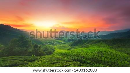 Sunrise of tea plantation in Cameron Highland, Malaysia.  #1403162003