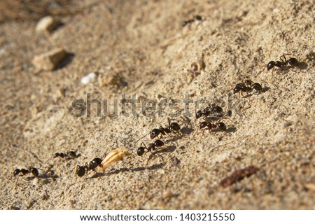 Several ants following an ant pathway, one of them carrying a piece of grass-ear  Royalty-Free Stock Photo #1403215550