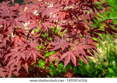 Close-up of graceful red leaves of Japanese Maple, Acer palmatum Atropurpureum tree with purple leaves in beautiful spring garden #1403416106