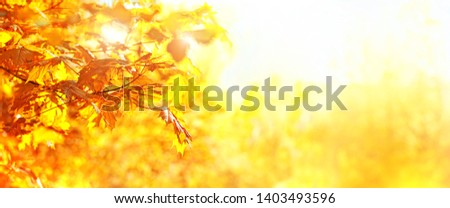 Autumn Landscape background. Fall golden maple leaves. autumnal nature forest backdrop. banner. copy space