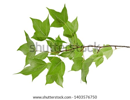 Acer foliage, Green maple leaves,  isolated on white background with clipping path      #1403576750