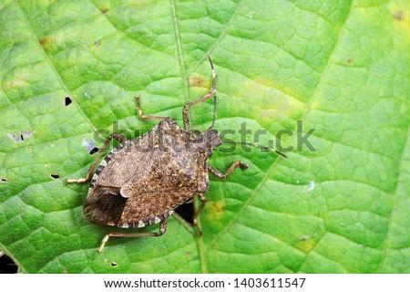 Halyomorpha halys on green leaves