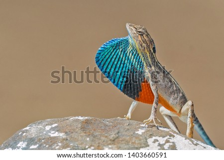 The fan throated lizard (Sitana ponticeriana) mostly found in open patches, rocky grounds and in thin forest. The agamid species of lizard distributed across the Indian Subcontinent  #1403660591