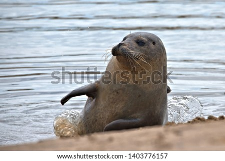 Common/Harbor Seal , Phoca vitulina in a creek on the Norfolk coast UK