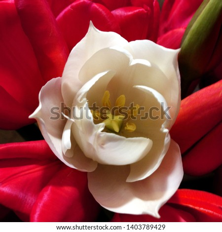Macro photo nature white and red flowers tulips. Background blooming flowers tulips with open buds.