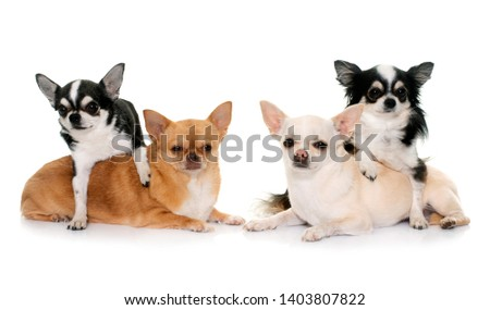 group of chihuahuas in front of white background #1403807822