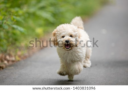 Adorable Maltese and Poodle mix Puppy (or Maltipoo dog), running and jumping happily, in the park #1403831096