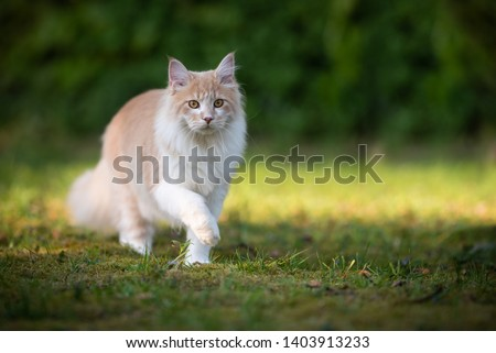 beige fawn maine coon cat on the move walking through the garden on a sunny day in front of a hedge #1403913233