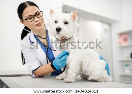 Examining dog. Dark-haired vet wearing glasses examining cute little white dog standing on table #1404024311