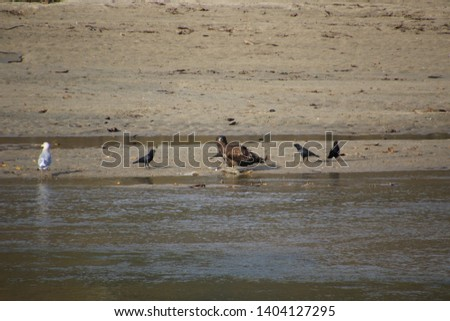 A young bald eagle standing on the edge of a sandy beach bordering a river eating a dead salmon #1404127295