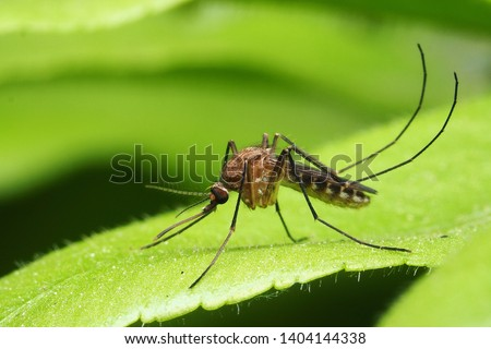 macro normal female mosquito isolated on green leaf #1404144338
