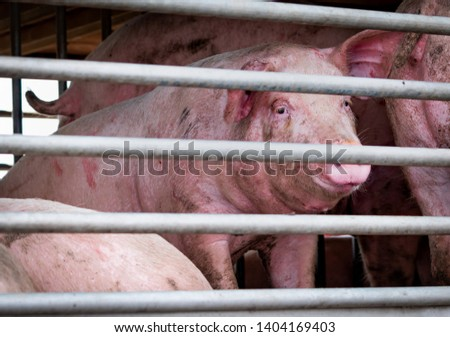 Pigs in truck transport from farm to slaughterhouse. Meat industry. Animal meat market. Animals rights concept. Pig suffering during delivery to pork processing factory. Swine flu (H1N1 virus)carrier. #1404169403