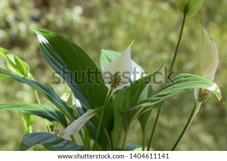 blooming Spathiphyllum in the pot #1404611141