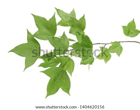 Acer foliage, Green maple leaves,  isolated on white background with clipping path      #1404620156