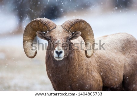 Bighorn sheep in the snow, Custer State Park #1404805733