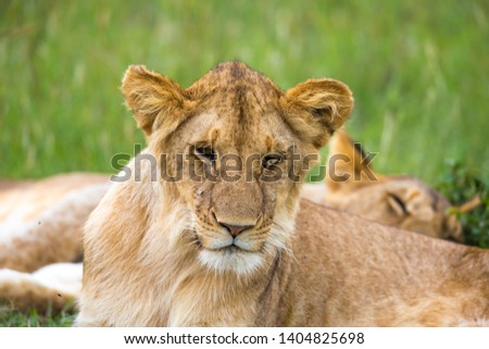 One young lion in close-up, the face of a nearly sleeping lion #1404825698