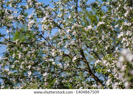 blooming apple tree in country garden in summer sunny day, white flower blossoms. apple tree flowers #1404867509