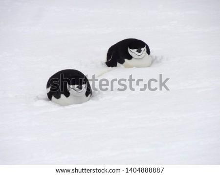 Penguins in Antarctica, Cute Penguins in nature, Penguins with eggs, Walking Penguins