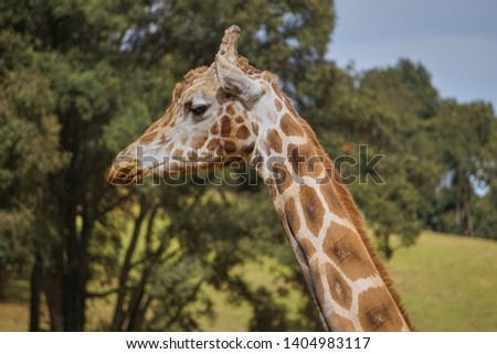 giraffe, giraffe in its habitat, giraffes in the field              #1404983117