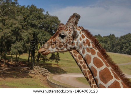 giraffe, giraffe in its habitat, giraffes in the field              #1404983123