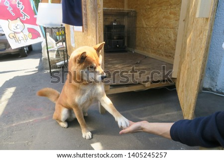 Sapporo City ,Japan : May 2019 :  A famous dog in japan who sells sweet potato . This dog name Ken murayama  age 3 years old , Single . A type of chiba dogs   #1405245257